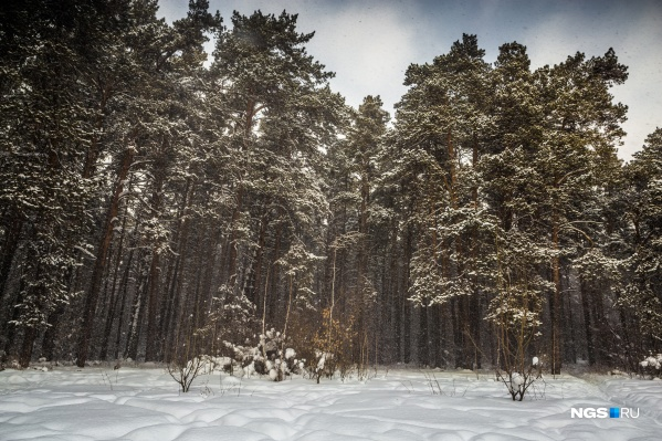 С конца февраля только Минприроды НСО может разрешить строительство в Заельцовском бору и ряде других лесов региона