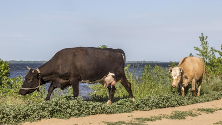 «И тут фарт попер у районного начальства»: фермер — об играх статистики с коровами в Волгограде и области