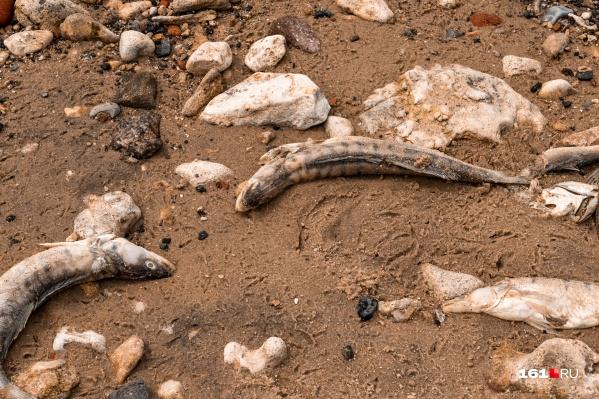 Фауна Таганрогского залива страдает из-за нехватки кислорода