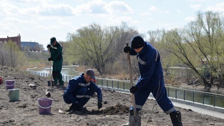 В ЦПКиО Кургана высадили 50 шаровидных ив