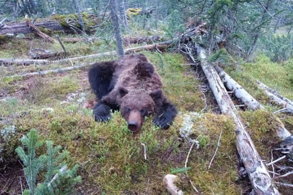 Медведя выслеживали несколько часов