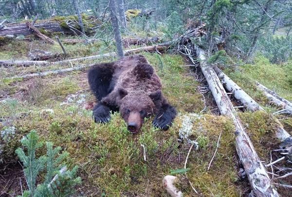 В нацпарке «Ергаки» показали фото убитого медведя-людоеда и объяснили причину агрессии зверя