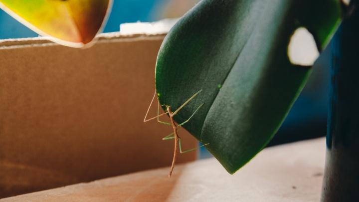 Фантастическая тварь! В тюменской квартире обитает тропическое насекомое, которое прикидывается веткой
