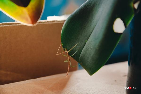 Видите крошечную веточку на листе? Это и есть палочник — насекомое, которое питается зеленью и бодрствует по ночам