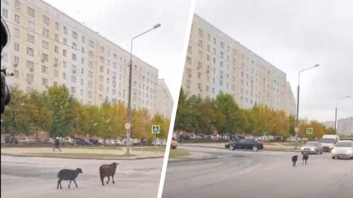 На Плющихе носятся бараны — очевидцы сняли видео с перепуганным животным
