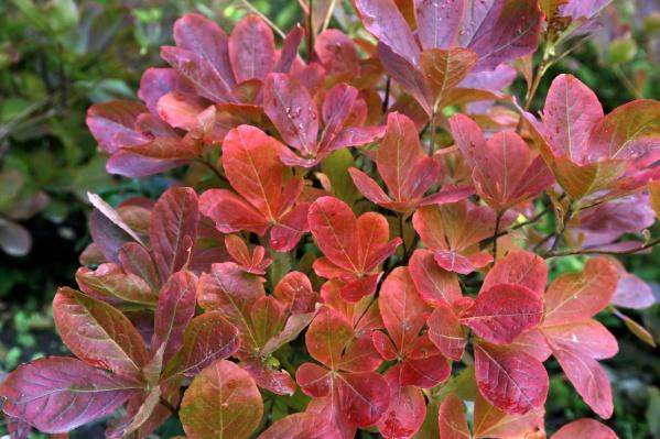 Правильно подобранные кустарники осенью скрасят любую непогоду