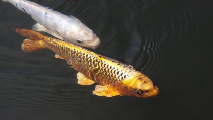 Ростовские промышленники выпустили в Северное водохранилище «золотую рыбку»
