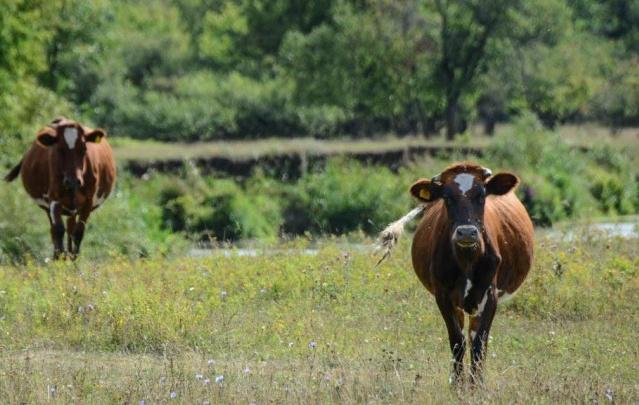 В Зауралье могут сократиться поголовье скота. Баранина подорожает, молоко и говядина — нет