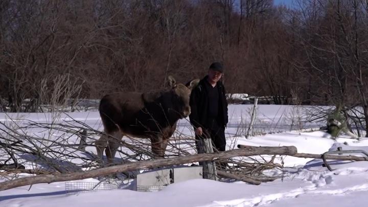 «Всё, думаю, кирдык ему»: в Самарской области лесник нашел и выходил истощенного лосенка