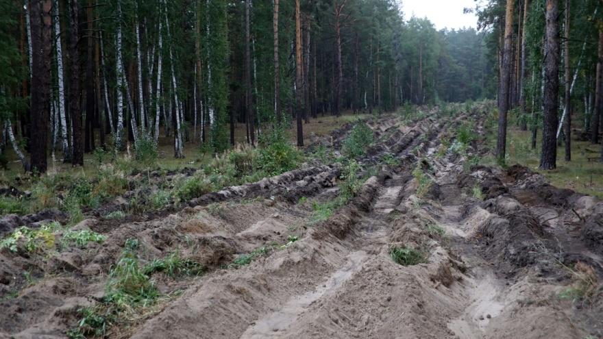 Курганские чиновники высадили сосны в вырубленном лесу
