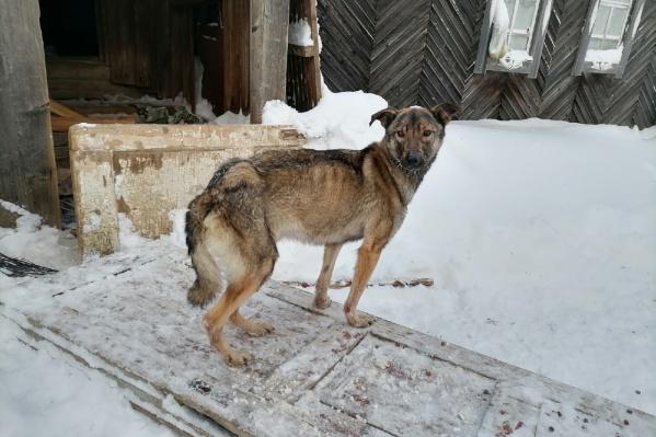 Одна из собак, попавшая в беду. Видно, что животное сильно истощено