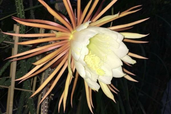 Селеницереус цветет лишь раз в год