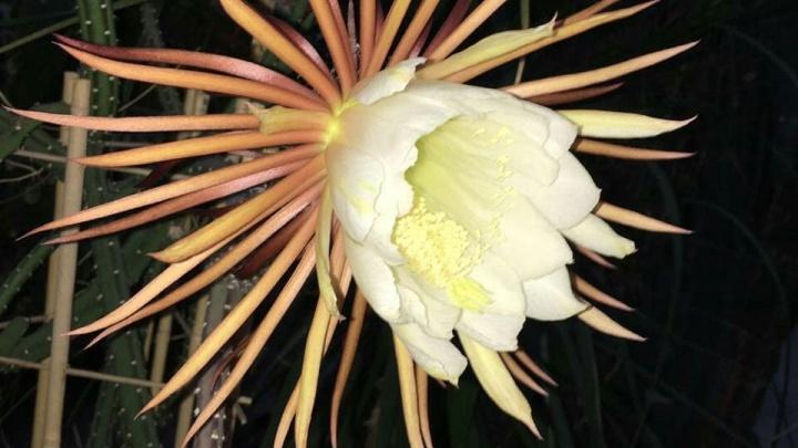 «Царица ночи»: в Екатеринбурге расцвел редчайший цветок, который живет несколько часов и умирает