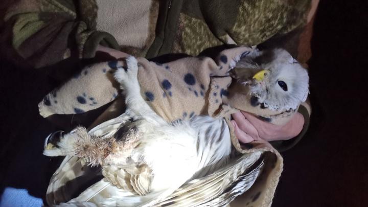 Житель Екатеринбурга спас сову, которая застряла на вершине фонарного столба и сломала лапу