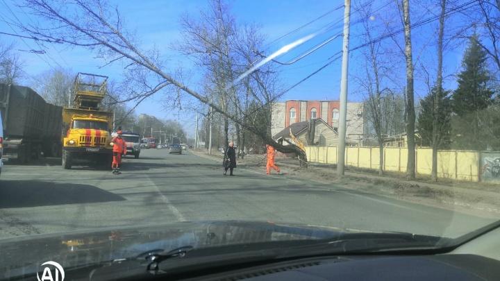«Чуть не пришибло»: в Ярославле дерево рухнуло на провода