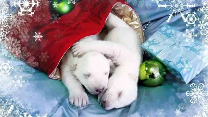 У живущего в Геленджике медведя Седова родились два медвежонка. Один с ним должен приехать в Красноярск