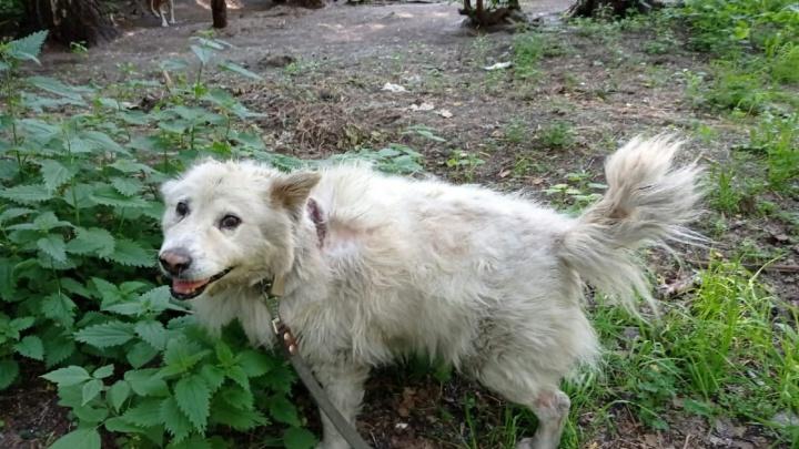 Врачи выявили рак у пса Беляша, которого спасли на новосибирской заправке после взрыва