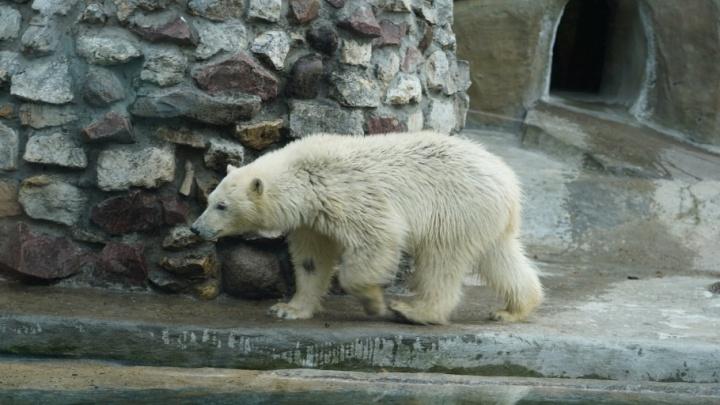 Мэр рассказал, когда в Екатеринбург переедет вторая белая медведица