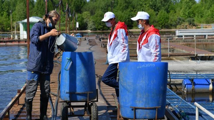 Нефтяники выпустят почти 90 000 мальков стерляди в водоемы Прикамья