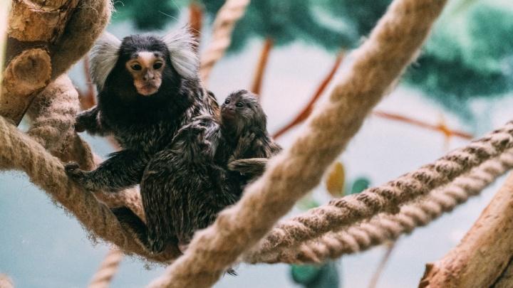 В омском экоцентре у игрунок и капибар родились малыши. Посмотрите, какие они милые