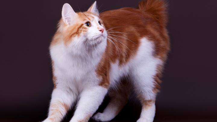 «Это вам не просто Мурзик»: волгоградцам покажут кошек необычных пород