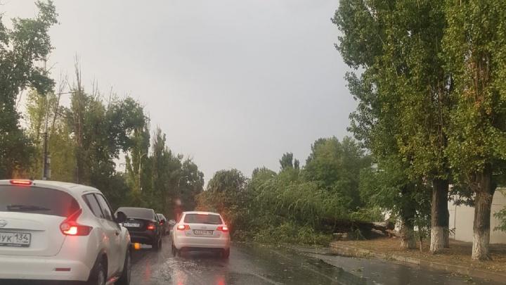 После дождика в четверг: в Советском районе Волгограда на проезжую часть рухнуло дерево