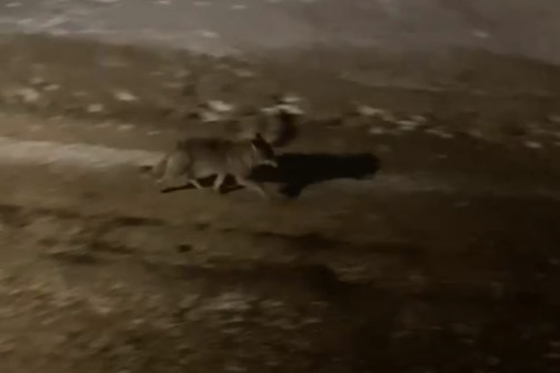 Волк напал на нескольких собак