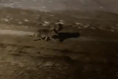 «Отбить не смогли»: на улицы Архангельска опять вышел волк и утащил собаку на глазах у хозяйки