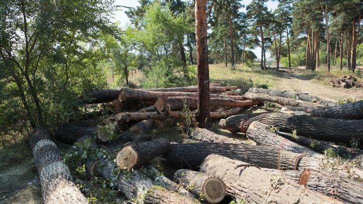 В Минусинске ради парка отдыха рубят вековые сосны