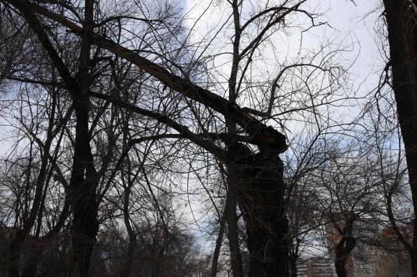 Сломанные деревья на проспекте Жукова угрожают безопасности пешеходов