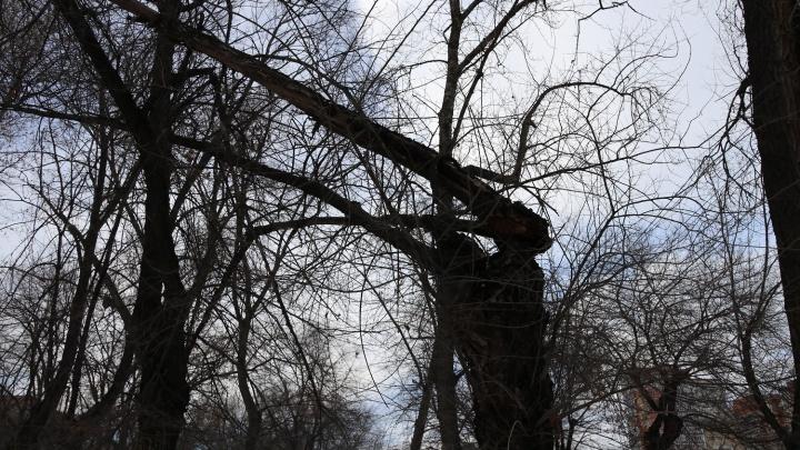 В Волгограде начали пилить аварийные деревья на проспекте Жукова