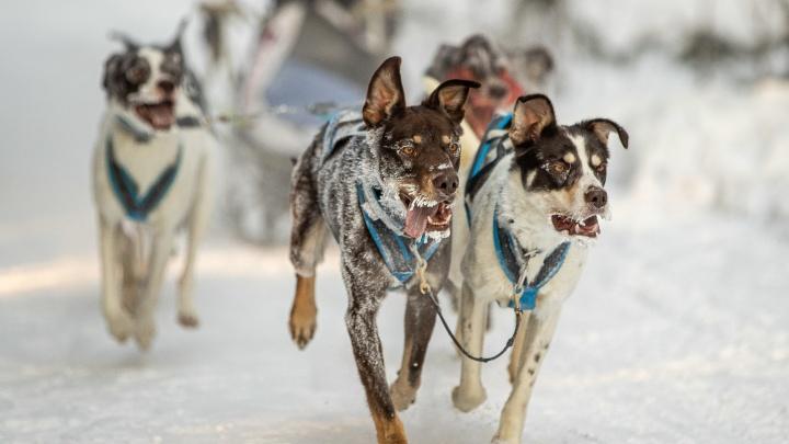Носики в инее: 10 очень милых фото с заезда собак в аномальные морозы