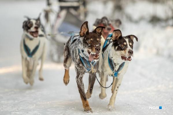 В соревновании приняли участие несколько десятков спортсменов и собак