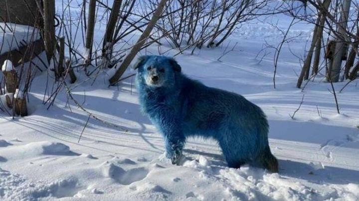 Собак с синей шерстью обнаружили в Дзержинске