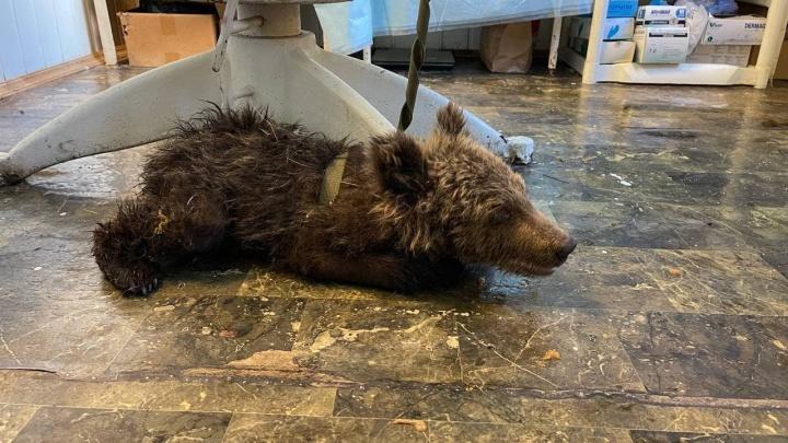 На границе Челябинской области с Башкирией нашли истощенного медвежонка