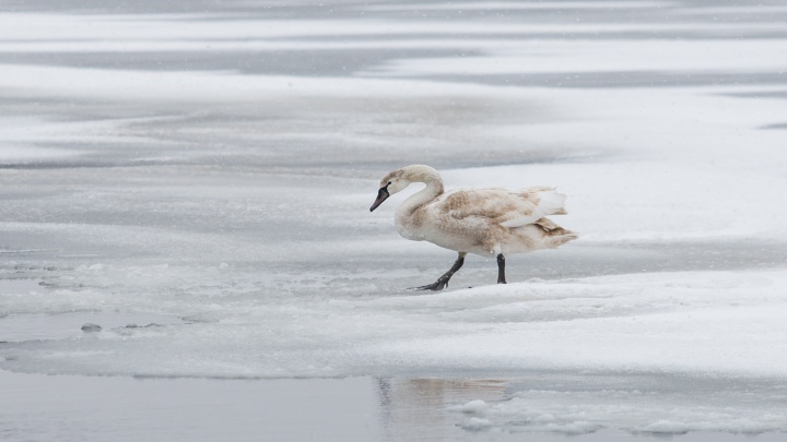 Дикие лебеди плывут по обледеневшему Солёному — фотоподборка 161.RU