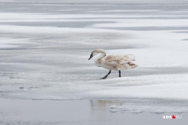 Всего на озере примерно 12–14 лебедей