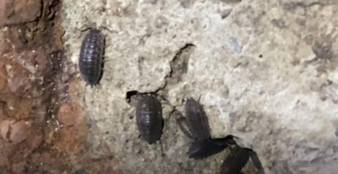 Гигантские мокрицы чувствуют себя вполне комфортно в челябинских подземельях