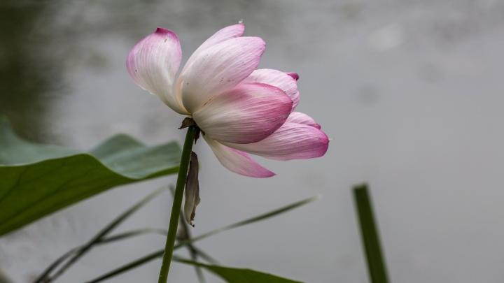 Хрупкие и беззащитные: под Волгоградом начинается сезон цветения лотосов