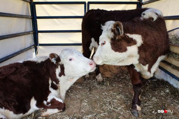 Коров, которые принадлежат совхозу, тоже планируют продать