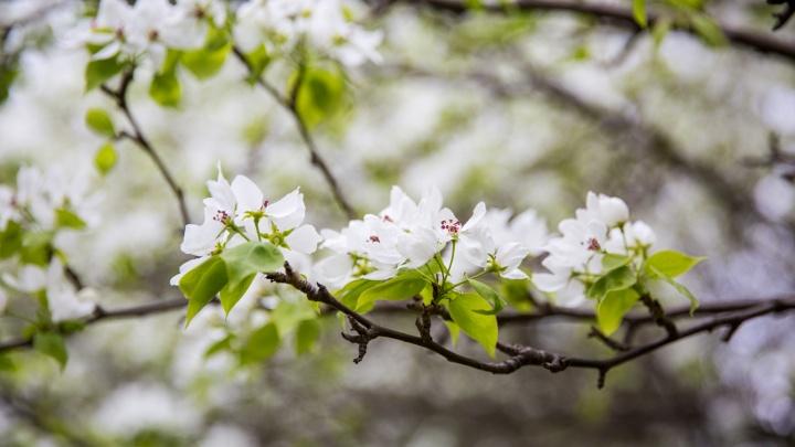 «2020 год отнял силы у деревьев»: в Новосибирской области массово погибли яблони