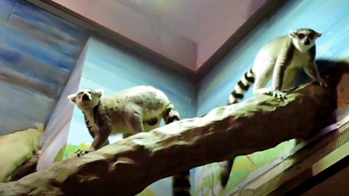 Лемурный лямур: в зоопарке после долгой разлуки воссоединилось семейство приматов. Нежное видео