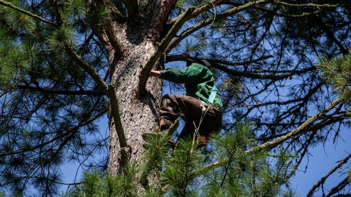 Досталось на орехах. Как простой сборщик кедровых шишек заработал 9 миллионов — фоторепортаж из леса