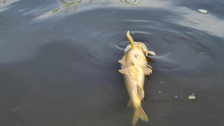 «Идет сплошным потоком»: у истока Которосли массово всплывает мертвая рыба