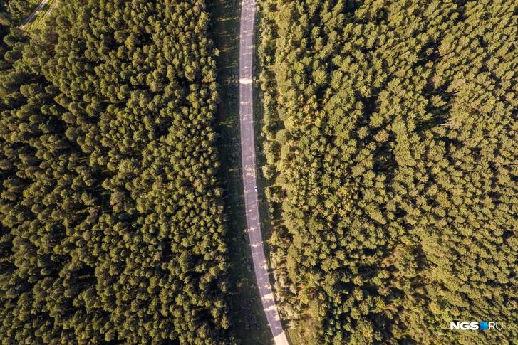В основном, кедр произрастает в семи районах Новосибирской области