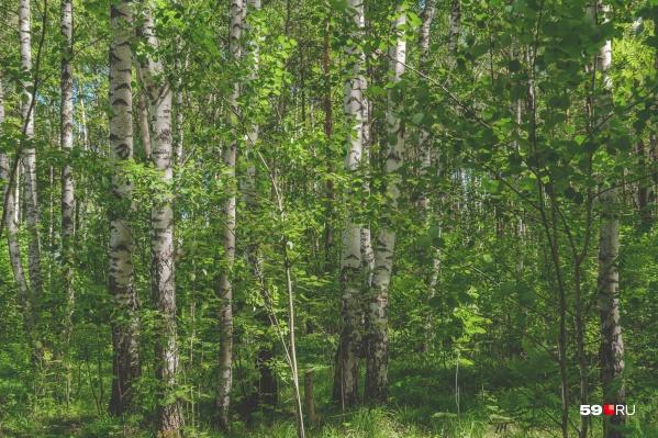 Пермяк заблудился в лесу под Чердынью