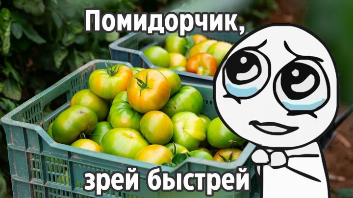 «Не кладите их на подоконник!»: три простых и эффективных способа дозревания зеленых помидоров