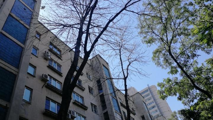 «Пусть стоят, нам палисадники дороже»: в центре Волгограда УК бережет от вырубки уничтоженные китайским жуком деревья