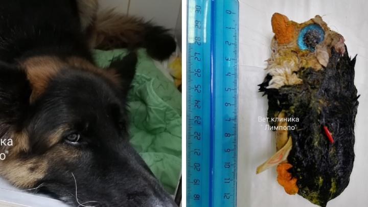 Красноярские ветеринары спасли немецкую овчарку, съевшую огромного плюшевого пингвина