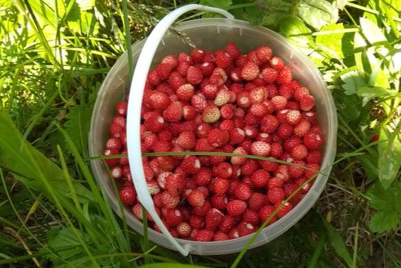 «Я в шоке! У нас созрела земляника!» Уральские садоводы собирают ягоды в мае. А что об этом думает биолог?